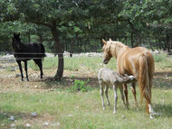 rocky mountain horse a vendre poulains pouliches elevage