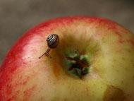 Schnecke auf Apfel
