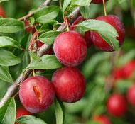Kirschpflaumen (Myrobalane)