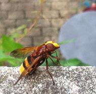Hornissenschwebfliege, ca. 2 cm