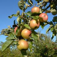 Pflückreife Äpfel (Vereinswiese)