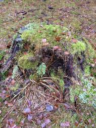 古株に芽吹く小さなもみの木の芽