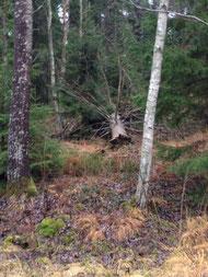 巨木が倒れたジブリの森