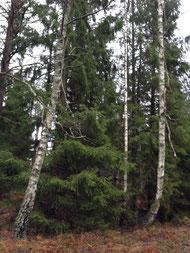 スウェーデンの森の巨大モミの木