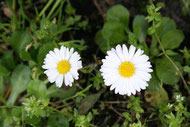 Marienblümchen