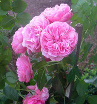 Rosen aus eigenem Anbau
