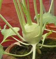 Kohlrabi im Topf gepflanzt