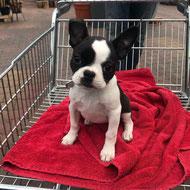 Puppycursus bij De Hondenleerschool - Dé Hondenschool van Gouda