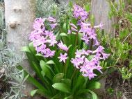 Den Frühling ohne Allergie geniessen und sich ab diesen wunderschönen, violetten Blumen erfreuen.
