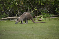 Känguruhs auf Daydream Island