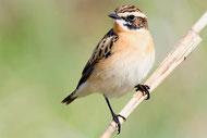 Feldlerche - Vogel des Jahres 2019; Foto: NABU/Manfred Delpho