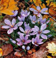 Flor de açafrão