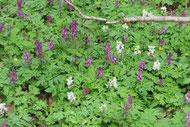 Lerchensporn (Corydalis cava) im Kulturpark NB.