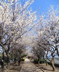 ●3月に来たときには、梅がきれいな場所もありました