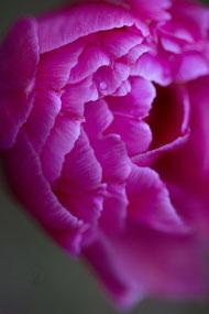 April 15: Tulpe