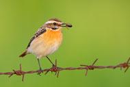 Die Turteltaube - Vogel des Jahres 2019 - Foto:  NABU / Manfred Delpho
