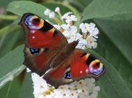 Das Tagpfauenauge gehört zu den Kernarten des Insektensommers