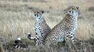 Cheetahs-Amboseli National Park