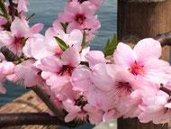 アーモンドの花!きれいでしょ。