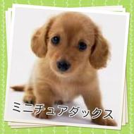 ダックス 子犬