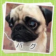 パグ 子犬