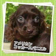 アメリカンコッカースパニエル 子犬