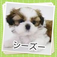 シーズー 子犬