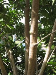 庭木 風水 クロガネモチ