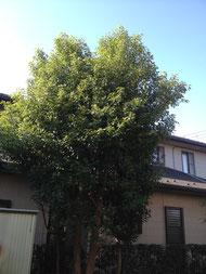 楠の木 剪定