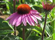 Bild: Echinacea (Sonnenhut) wird in der Kräuterheilkunde eingesetzt.