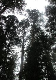 *羽黒山、随神門近くの大きな杉木立。