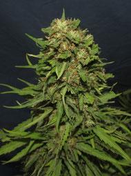 cogollos, marihuana, marihuana big mamut, cosecha marijuana