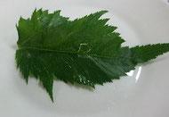 トウキの葉の写真