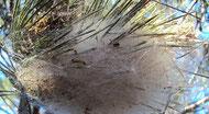 Un nid de chenilles processionnaires dangereuses pour le chien à la cime d'un pin par coach canin 16 éducateur canin en charente