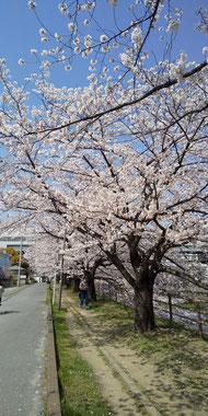 桜の下でお見合いも