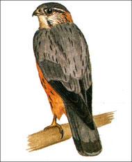 Фото с сайта: http://www.zooschool.ru/birds/vidy/accipitres/17.shtml
