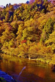 付知川に黄金色が写りこむ静寂のひと時。