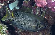 Pesce Coniglio Stellato