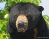 ours malais des cocotiers