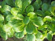 Feldsalat wächst auch im Winter und ist winterhart