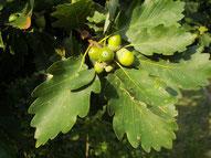 Quercia: dettaglio di foglie e ghiande