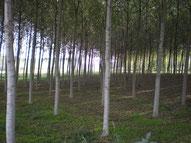 Impianto di alberi di pioppo