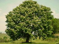 Grande pianta di Castagno