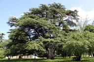 Pianta di Cedrus Libanii