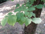 Olmo: dettaglio delle foglie