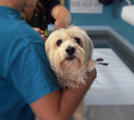 Un petit chien blanc tenu par un vétérinaire par coach canin 16 educateur canin en charente