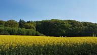 Rapsfeld im Frühling