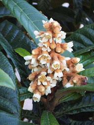 ちなみに花期は11~12月で、都内でも年明けくらいまで花の名残がありました。いい香り。