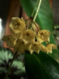 Hoya blashernaezii (1)