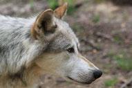 Wolf sorgt für Unmut in NIedersachsen
